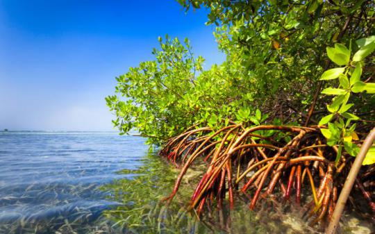 mangroves and corals unite