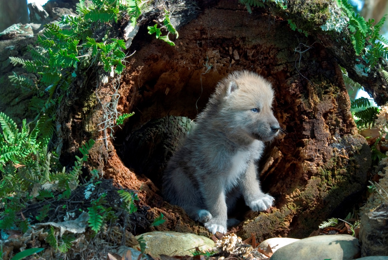 Endangered Species List 2020.Trump Administration To Remove Wolves From Endangered
