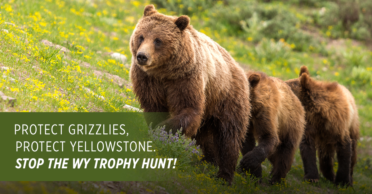Here In Greater Yellowstone Its Been A Long Winter But Few Signs Of Spring Are Comingincluding Grizzly Bears Emerging From Their Dens