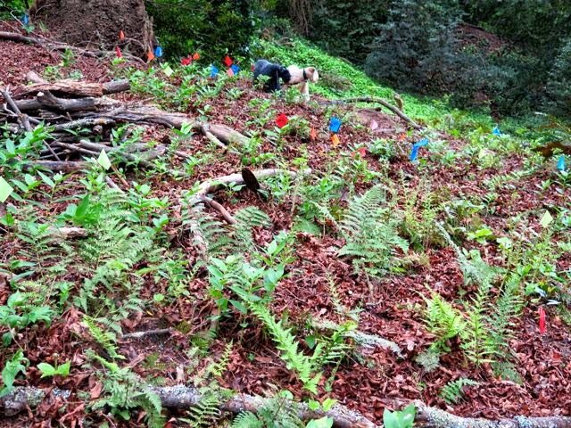 Native vegetation restoration in Berkeley's Garber Park. Photo courtesy Shelagh Brodersen.