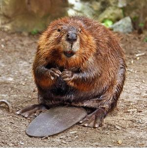 Water Storage And The American Beaver Castor Canadensis A