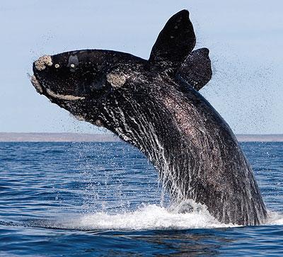 Whales | Sierra Club