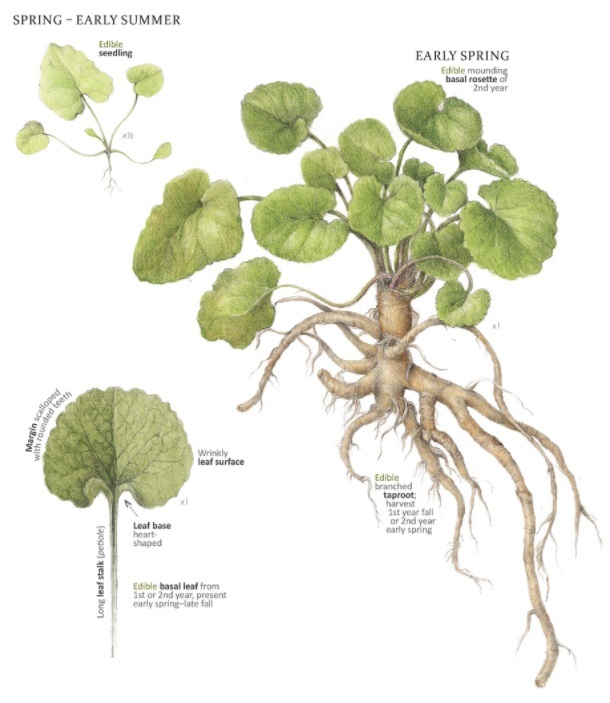 Invasive Weed of the Month of May: Garlic Mustard | Sierra Club