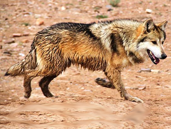 Trump's Fish and Wildlife Service Has Issued Mexican Wolf 'Kill Order'