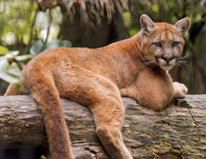 florida panther protection