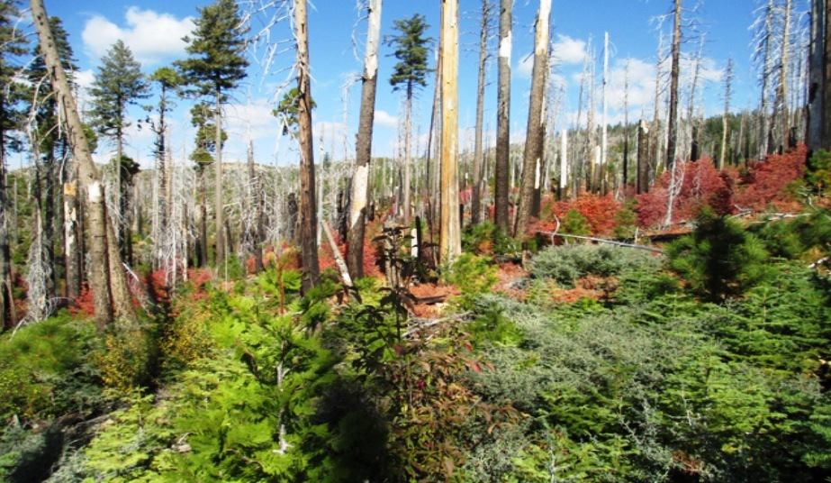 King Fire Restoration Ignores Ecology, Calls for Logging, Tree Plantations & Herbicides - Sierra Club Andrew Goto