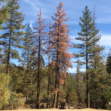 A pine tree killed by bark-beetle infestation is flanked by green healthy trees