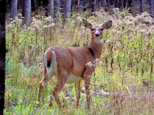 An argument in favor of white tail deer hunting