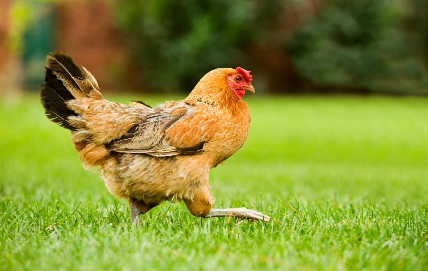How to Raise Backyard Chickens   Sierra Club