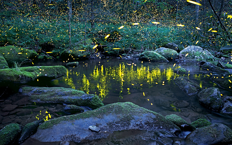 Great Smoky Mountains National Park Is One of the Few Places to Watch Synchronous Fireflies
