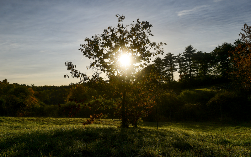 The Demise and Potential Revival of the American Chestnut