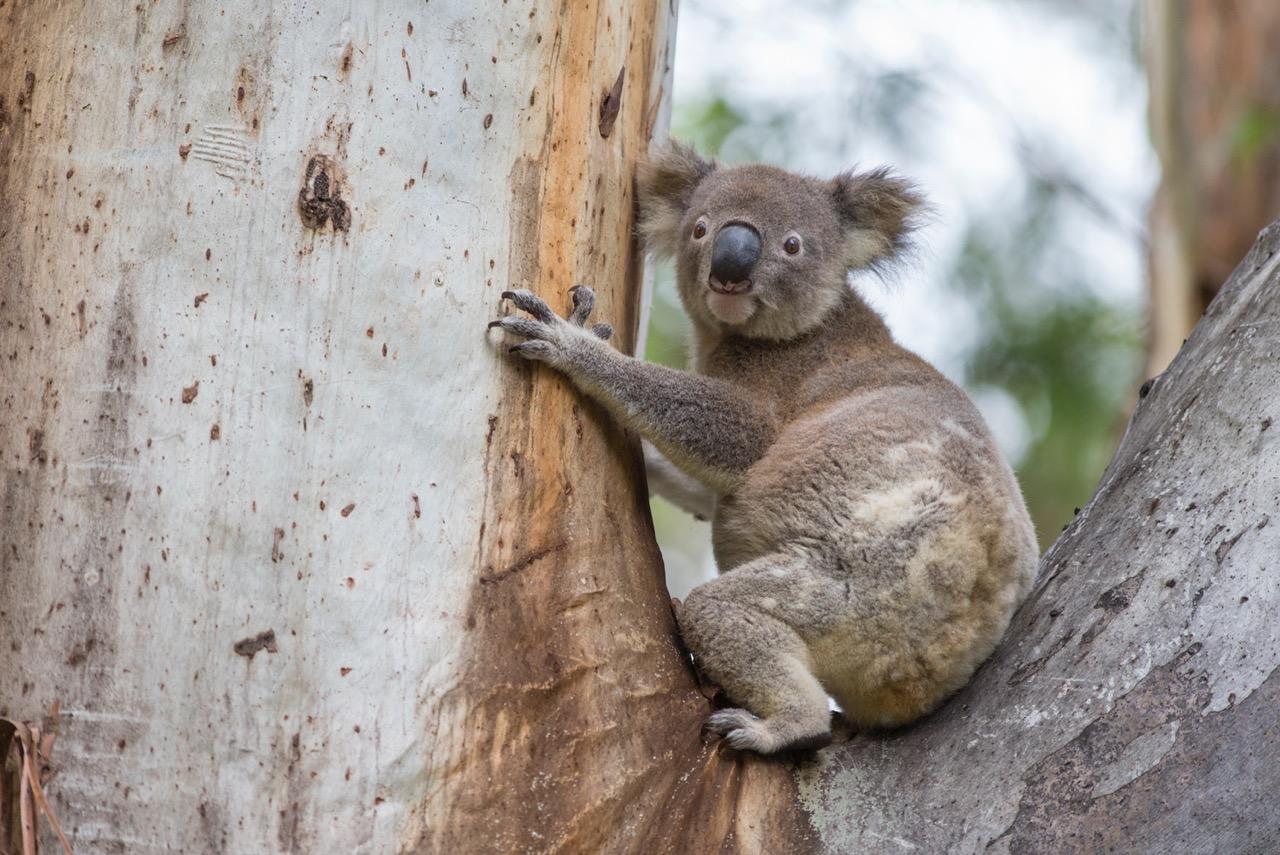 koala care up close sierra club