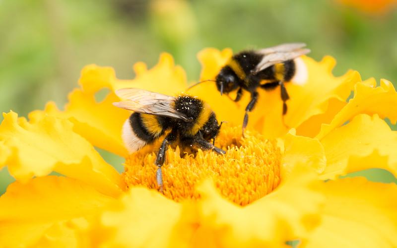 Bumblebees Need a Diverse Diet Too | Sierra Club
