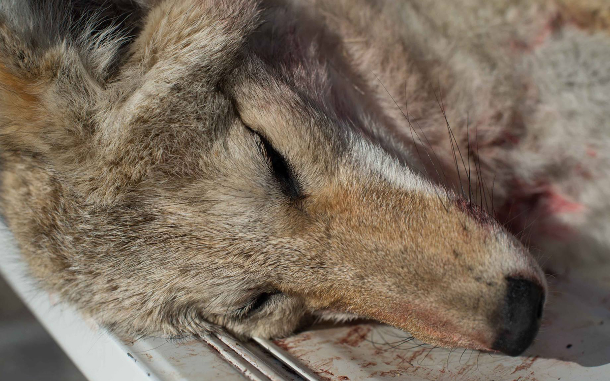13 Unlucky Animals That Are Killed For Fun Sierra Club