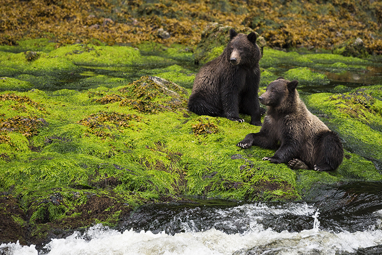 New Roads in Tongass National Forest Could Harm Bears
