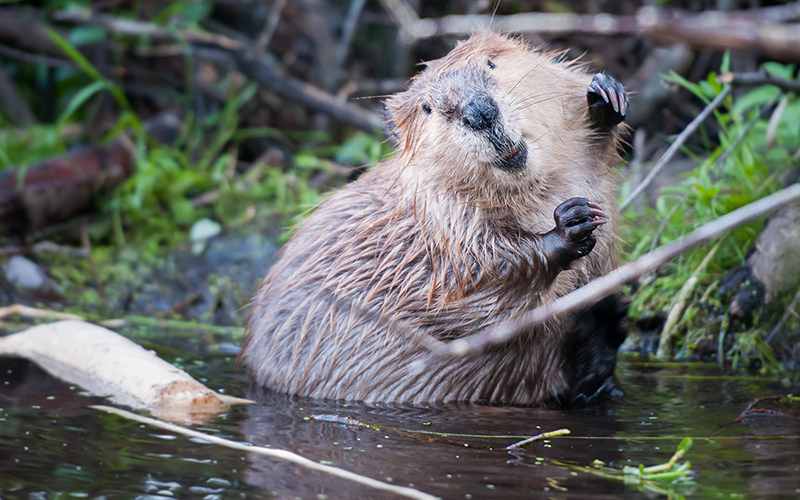Beavers Are Firefighters Who Work for Free - Sierra Magazine