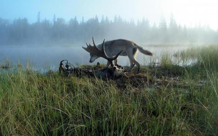 Is Bringing New Wolves to Isle Royale National Park