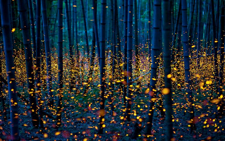 Check Out This Amazing Photo Of Fireflies Lighting Up A Anese Bamboo Grove