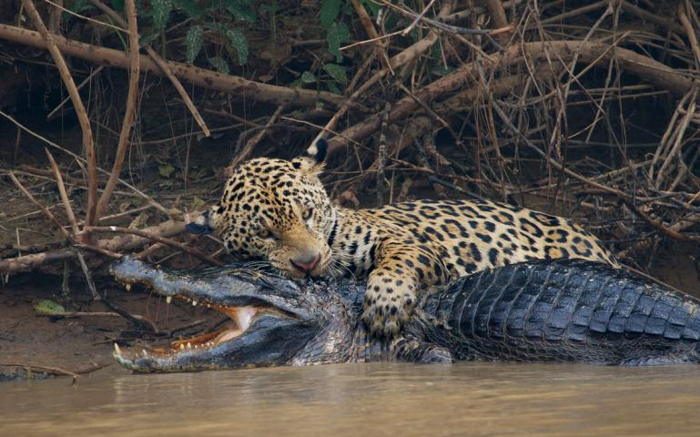 https://www.sierraclub.org/sites/www.sierraclub.org/files/styles/flexslider_full/public/sierra/articles/big/2019-3-Mixed-Media-Hostile-Planet-Caiman-Jaguar-WB.jpg