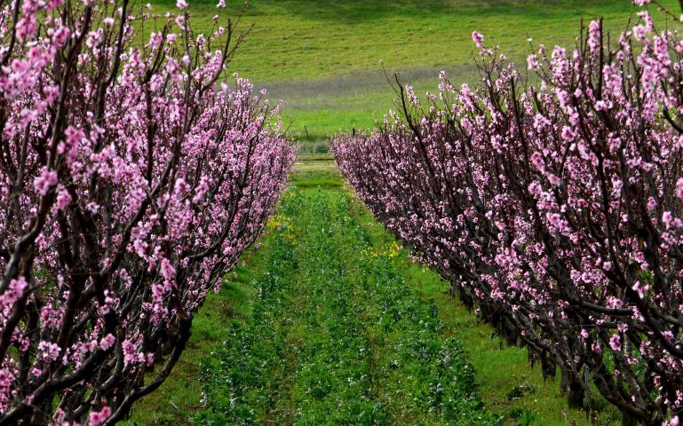 Orchard and cover crops
