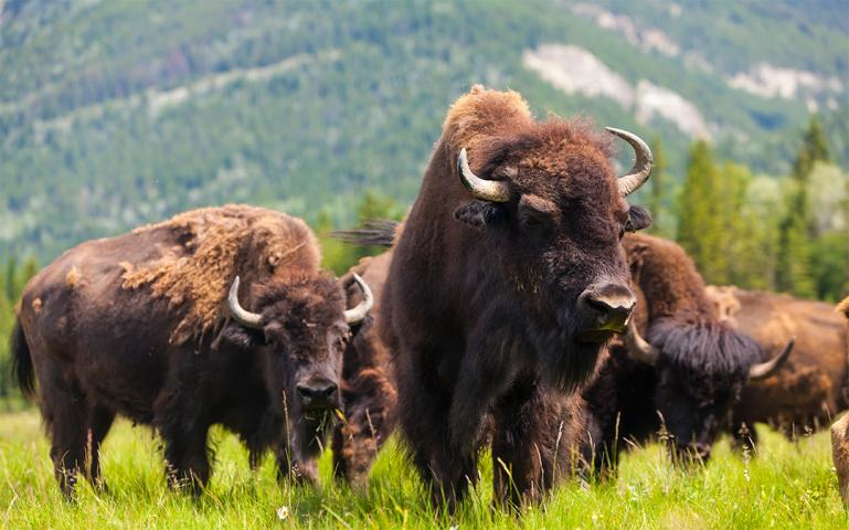 Bison Return to Banff National Park for First Time in 140 Years