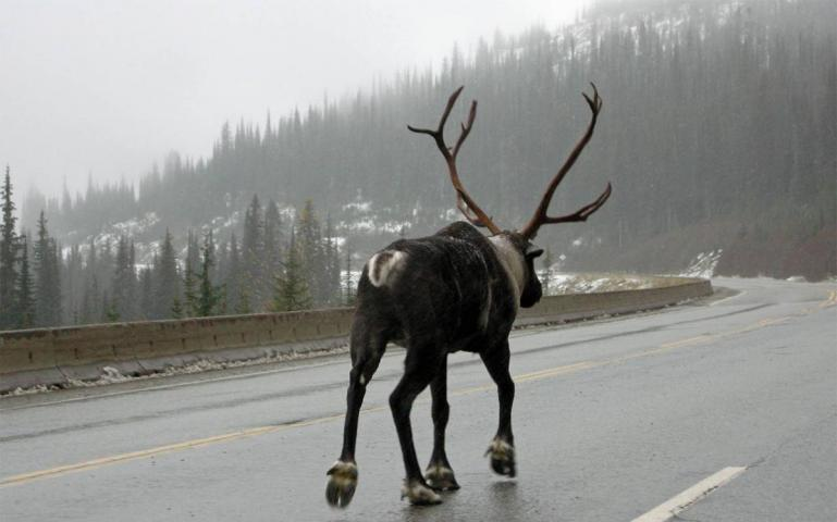 Can Canada Save the Mountain Caribou Before It's Too Late?