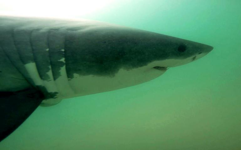 great white sharks are back in southern california now what  great white sharks are back in southern california now what