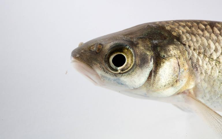 Eating the Most Hated Fish on the Mississippi | Sierra Club