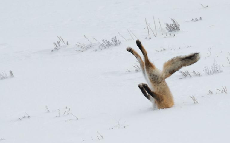 Fox buries head in snow