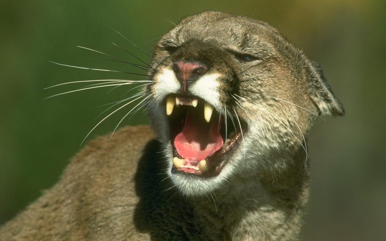 Fatal washington mountain lion attack the postmortem for Wa fish and game