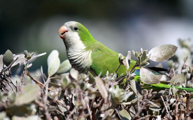 Non-Native Parrots Have Naturalized Across the US