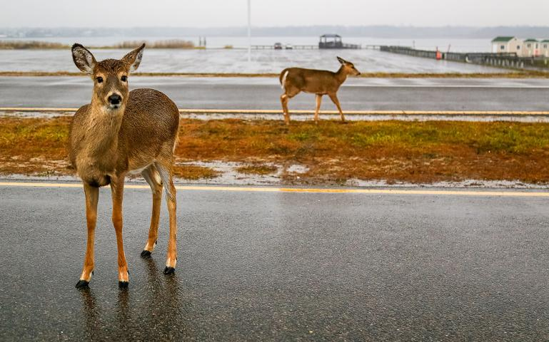 Is Sterilization The Answer To Too Many Urban Deer