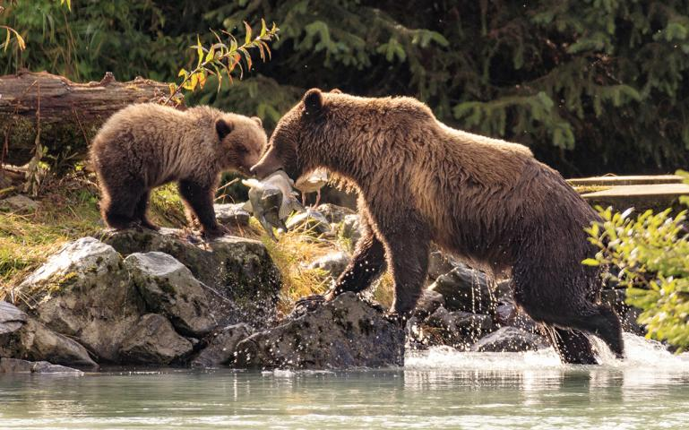 Grizzly Bears Are Back—on the Endangered Species List