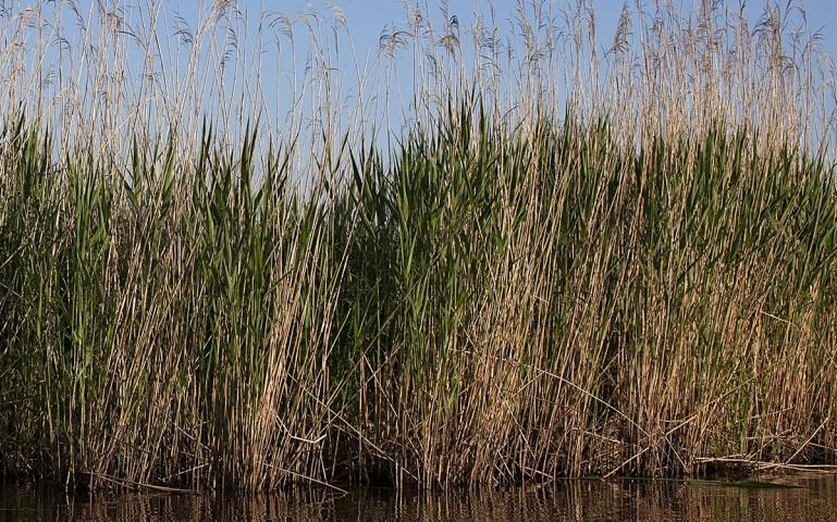 """Like Gold to Us"": Native American Nations Struggle to Protect Wild Rice"