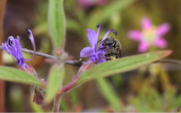 Could Wildfires Benefit Bees?