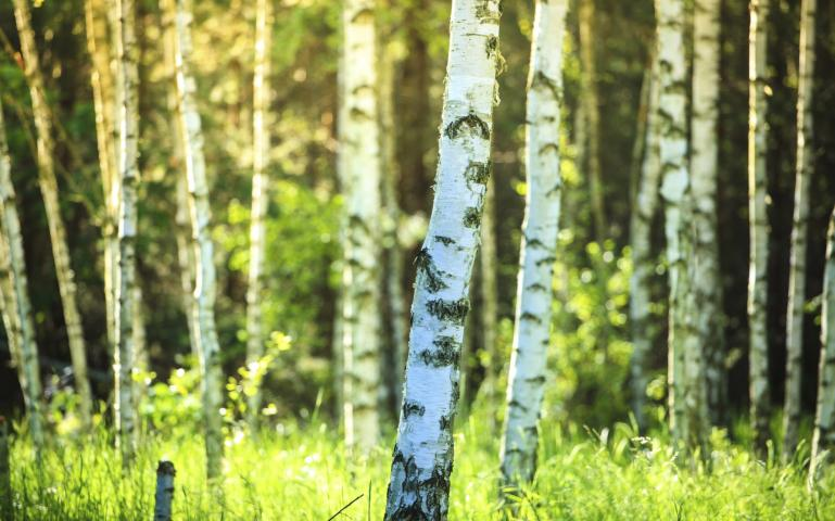 How Much Paper Does One Tree Produce? | Sierra Club