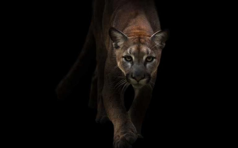 Stalked By A Cougar