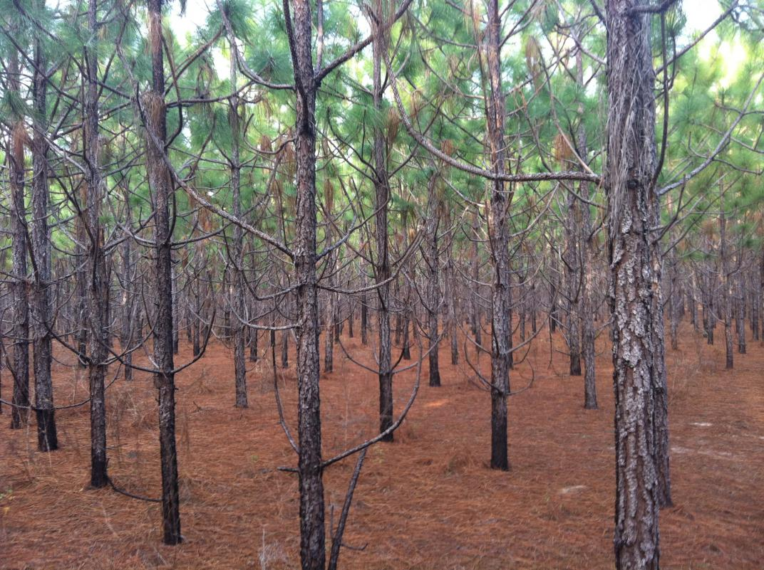Pines on Old Sod Farms