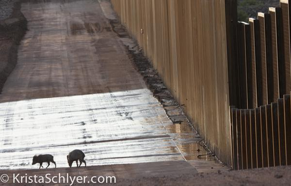 Javelina blocked by walls through the San Pedro Conservation Area, AZ. Photo by Krista Schlyer
