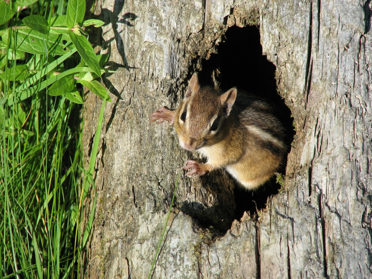 Chipmunk emerging from tree trunk into bright sunlight