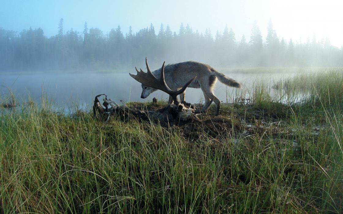 2ec93ac9f8e Is Bringing New Wolves to Isle Royale National Park