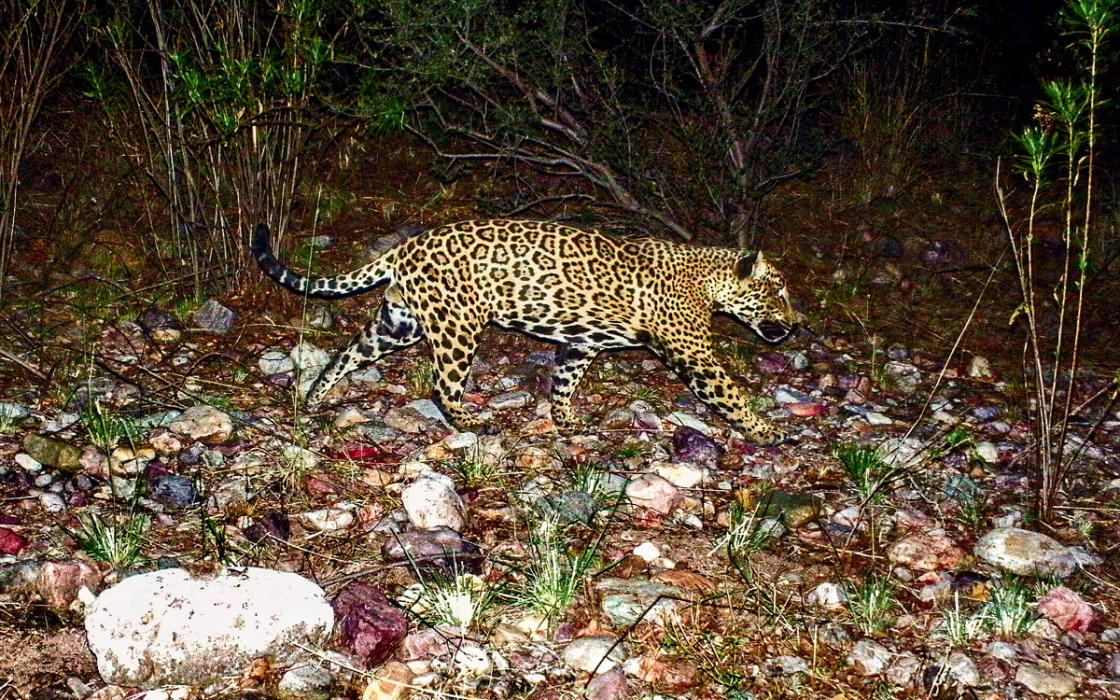 Jaguars Are Reappearing In The Southwest. A Border Wall Would Put An End To  That