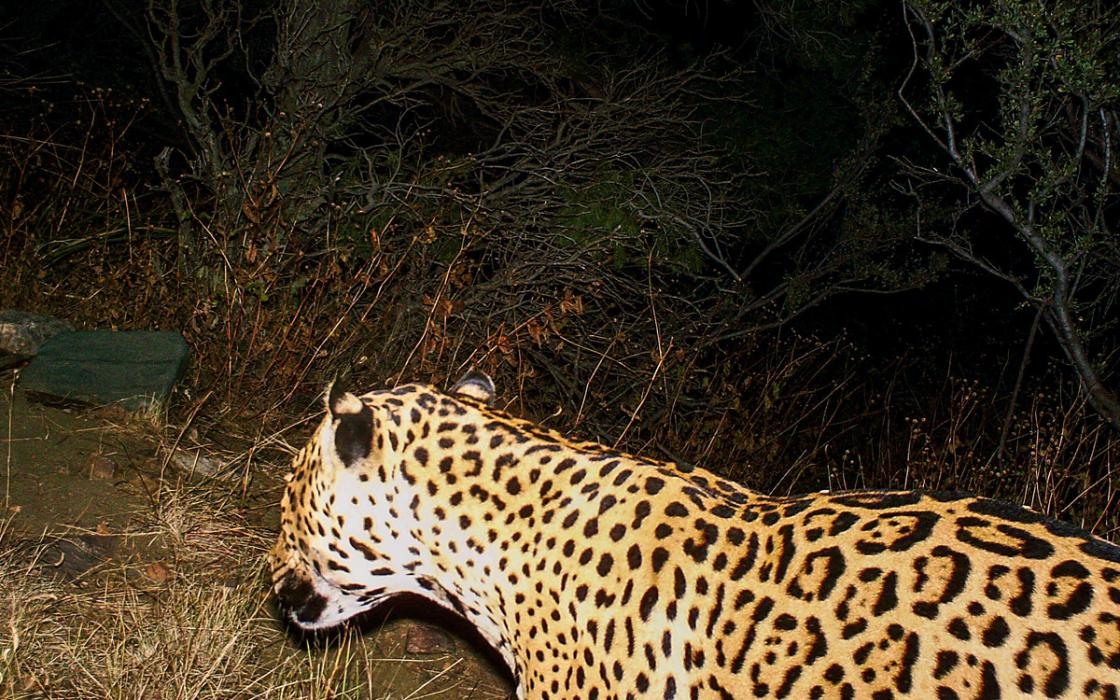 Jaguars are reappearing in the Southwest. A border wall would put an end to that.