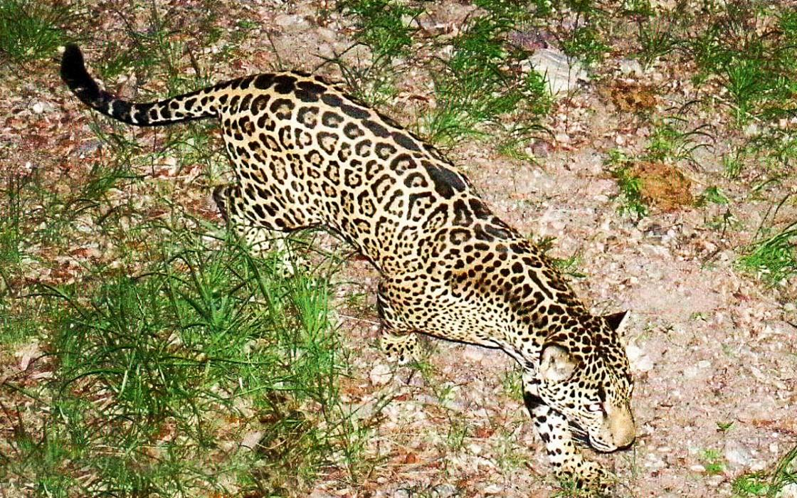 High Quality Jaguars Are Reappearing In The Southwest. A Border Wall Would Put An End To  That