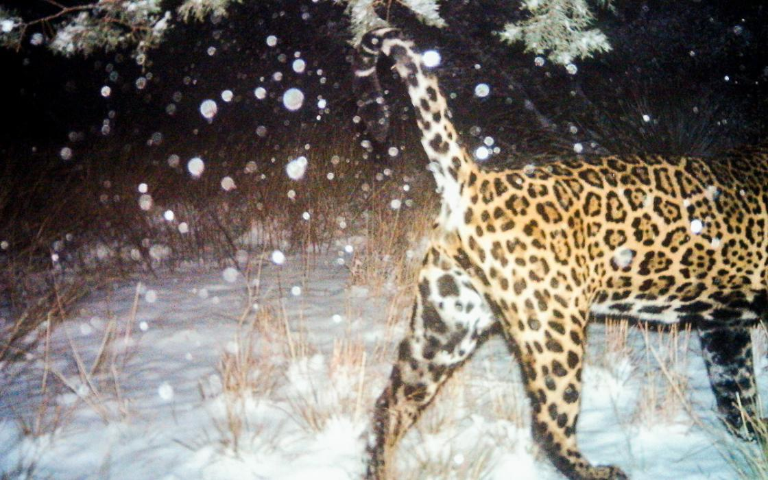 Attractive Jaguars Are Reappearing In The Southwest. A Border Wall Would Put An End To  That