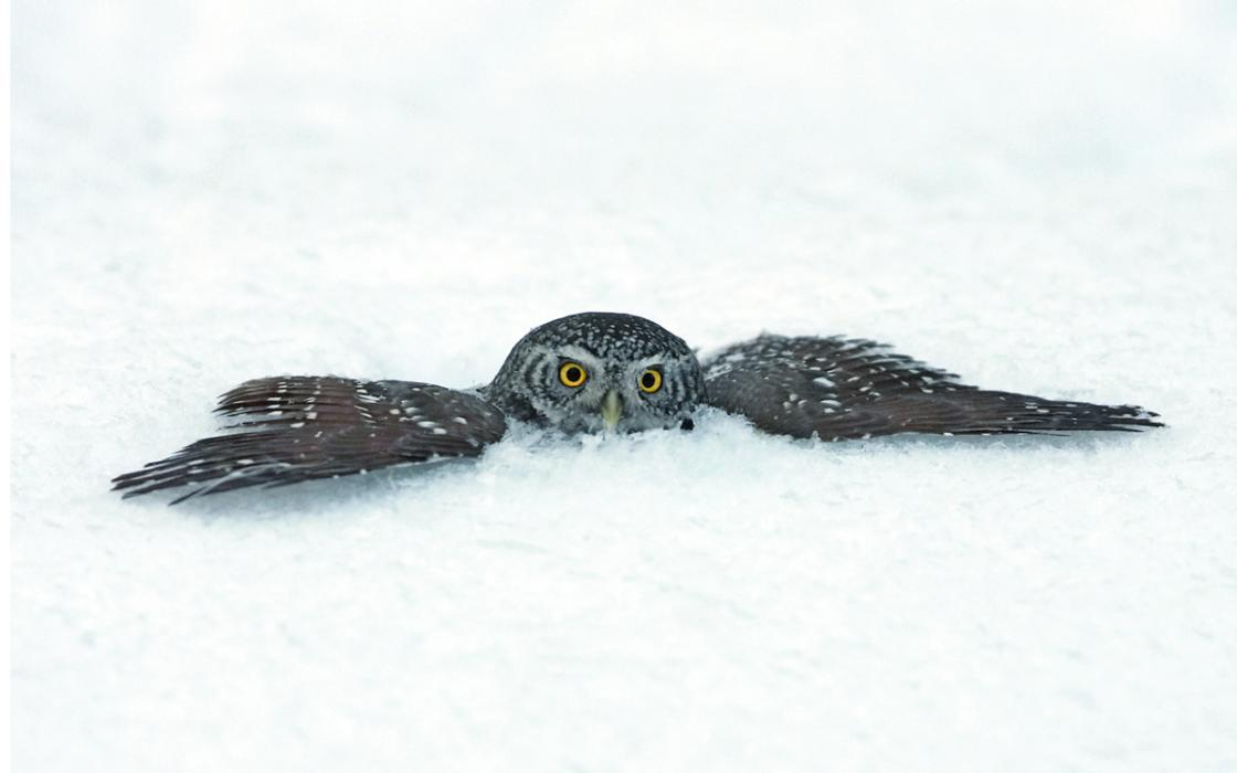 The Eurasian Pygmy Owl May Plunge Right Through Snow In Pursuit Of Rodent Prey Beneath Crust