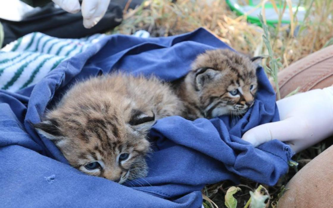 Wide Eyed And Whiskered Baby Bobcats Sierra Club