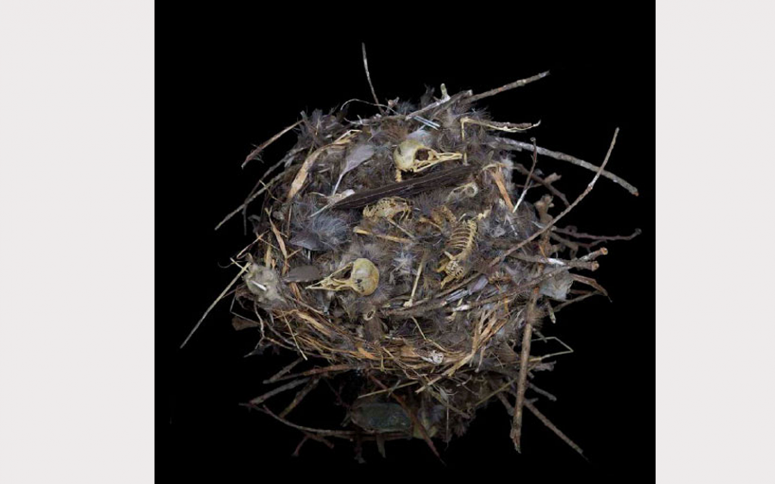 Young house wrens leave the nest roughly two weeks after hatching.