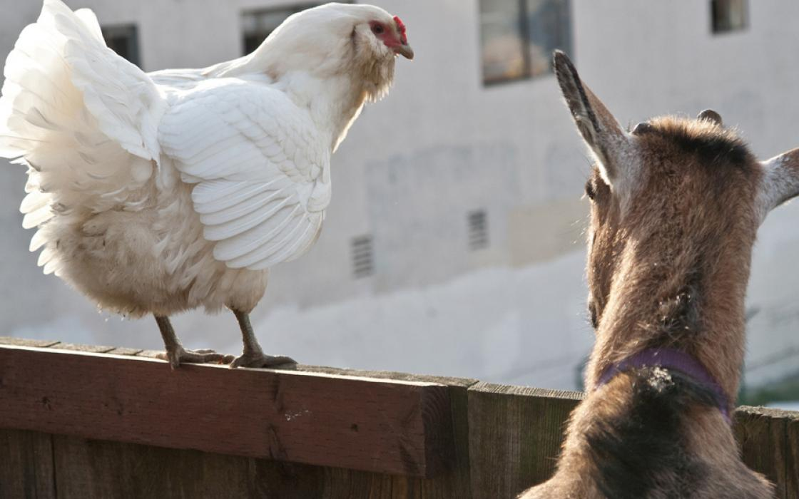 Heidi Kooy's chicken and goat enjoy the view from their backyard pen in San Francisco.