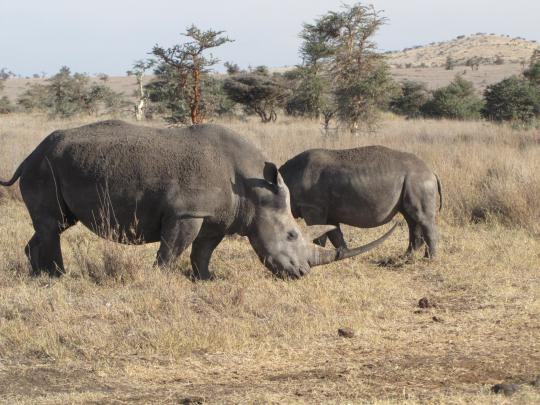 Black rhinos tempt poachers with their valuable horns.